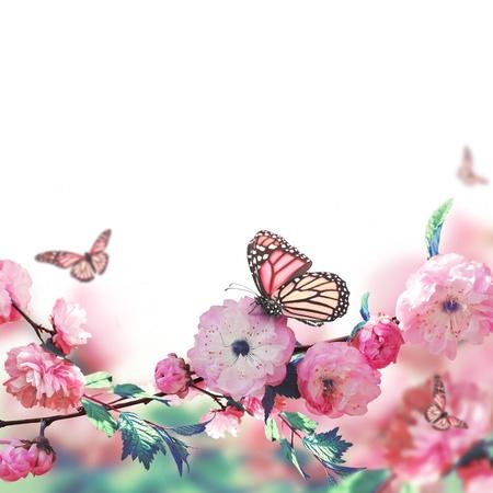 Fleur rose d'une cerise Oriental et le papillon; Banque d'images - 21568539