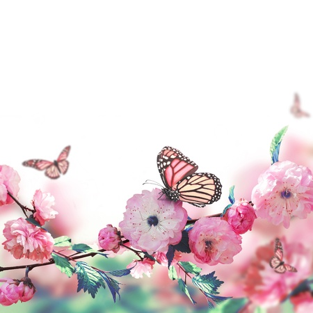 Pink flower of an Oriental cherry and butterfly;  photo