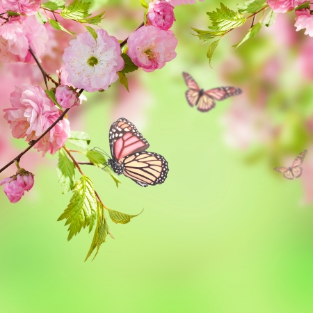 Pink flower of an Oriental cherry and butterfly;