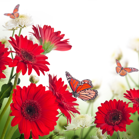 Multi-colored gerbera daisies and butterfly on a white background photo