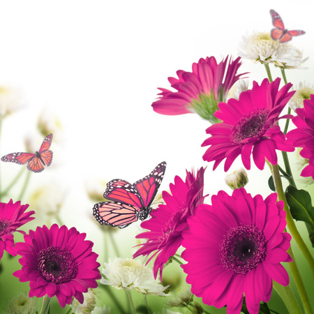 closeup of pink daisy with: Multi-colored gerbera daisies and butterfly on a white background Stock Photo