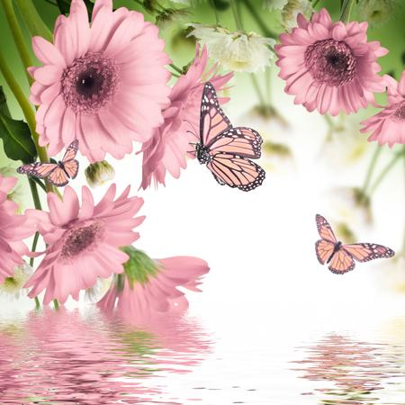 papillon rose: Gerberas multicolores et papillon sur un fond blanc