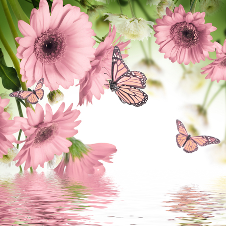 pink butterfly: Multi-colored gerbera daisies and butterfly on a white background Stock Photo