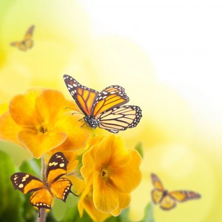 Yellow flowers and butterfly, a spring primrose photo