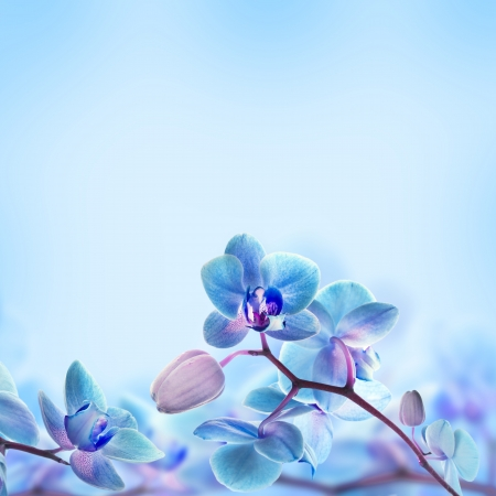 phalaenopsis: Floral background of tropical orchids