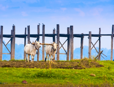 bullock animal: Bulls working in the field, Myanmar Stock Photo