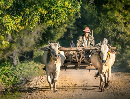 bullock animal: Mandalay - December 3: Farmer working in the field with water buffalo December 3, 2013 in Mandalay. Plowing rice fields - an ancient occupation peasants Myanmar