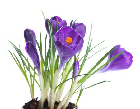 Spring crocus sfondo fiore