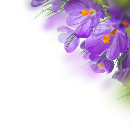 Spring crocus flower background photo