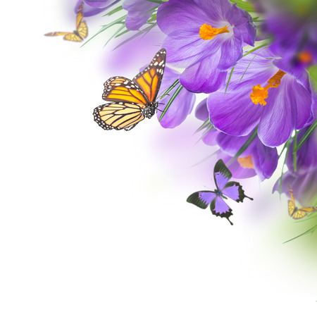 Spring crocuses with butterfly, floral background photo