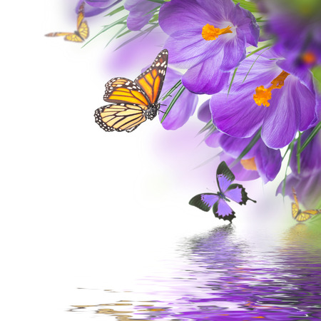 Spring crocuses with butterfly, floral background Stock Photo
