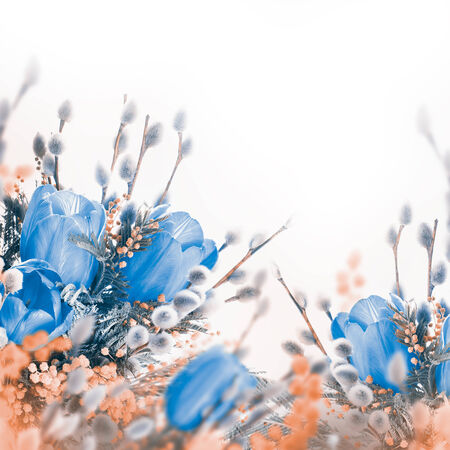 Blue tulips with mimosa, spring background photo