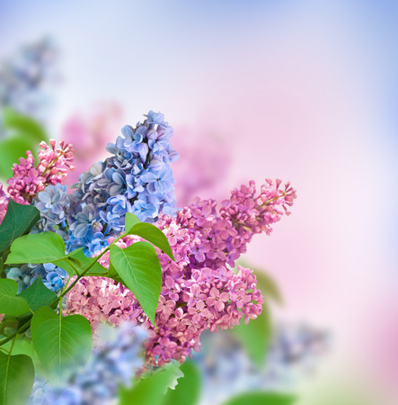 The branch of blue and pink lilac floral background. photo