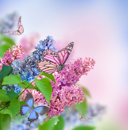 Branch of lilac blue and pink butterfly Standard-Bild