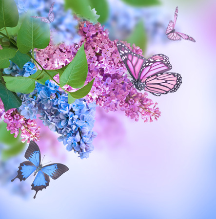 purple butterfly: Branch of lilac blue and pink butterfly Stock Photo