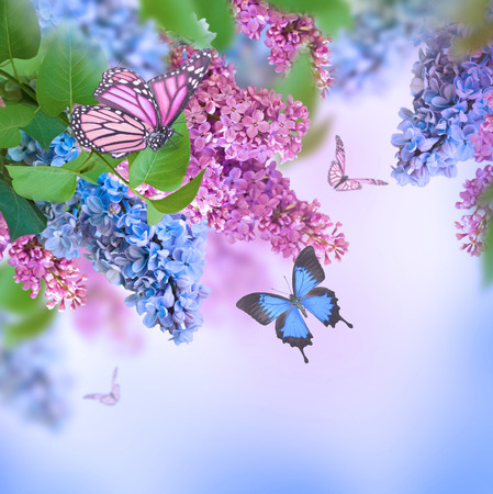 Branch of lilac blue and pink butterfly photo