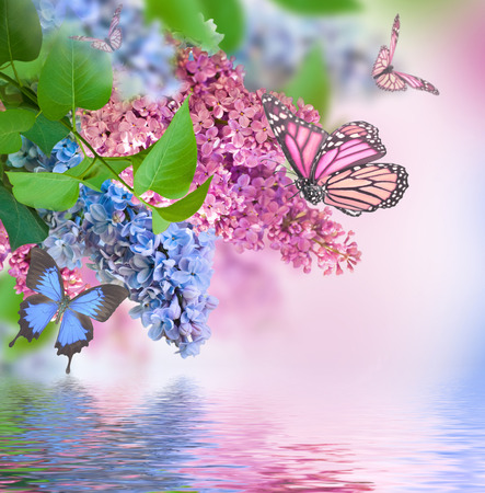 Branch of lilac blue and pink butterfly and water photo