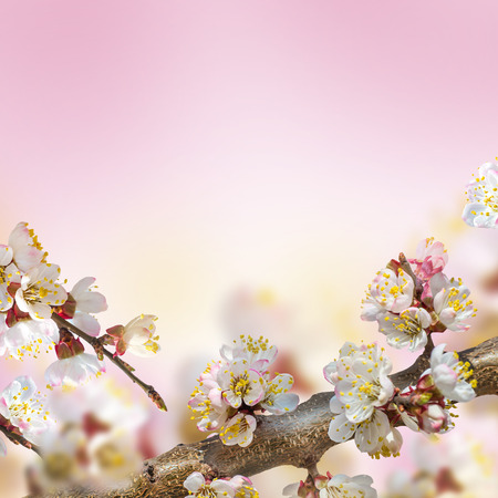 Apricot flowers in spring, floral background photo