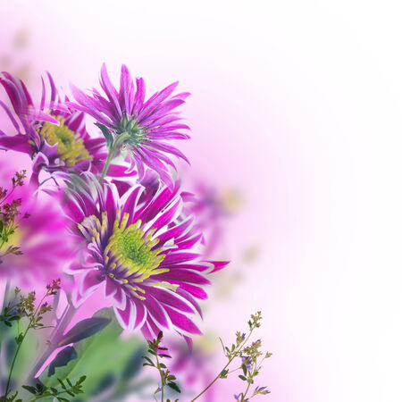 Bright spring chrysanthemum, floral background photo