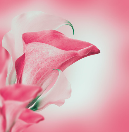 Bright buds callas, floral background photo