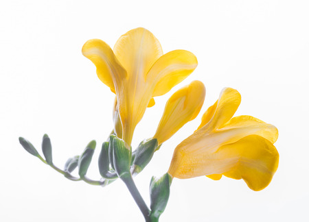 Spring yellow primrose, floral background Stock Photo