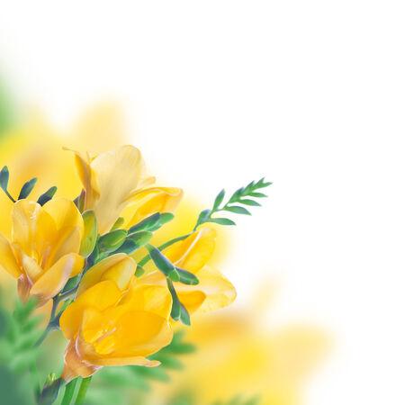 Spring yellow primrose, floral background photo