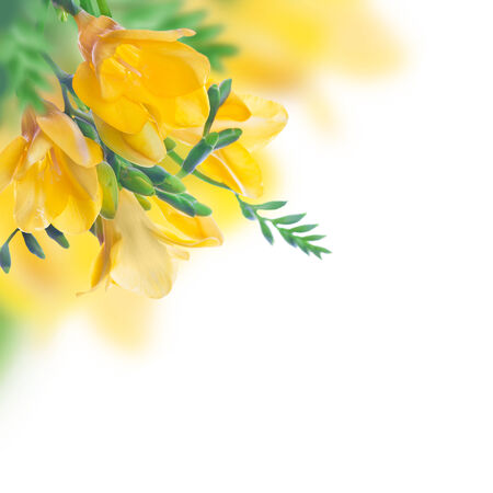 Spring yellow primrose, floral background photo