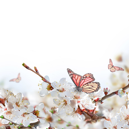 japanese apricot flower: Apricot flowers in spring, floral background