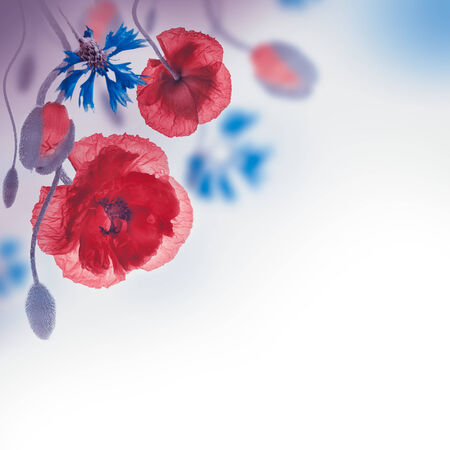 Red poppies field and blue cornflowers, floral background photo