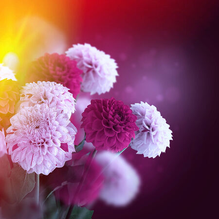 nature flowers: Colorful autumn chrysanthemums with flares, floral background Stock Photo