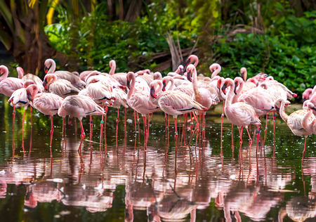 flamingo: A flock of pink flamingos and reflection in the water. Stock Photo