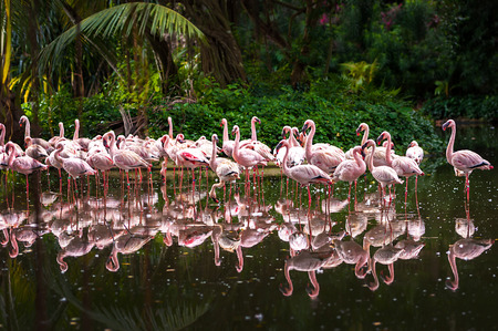 A flock of pink flamingos and reflection in the water. Standard-Bild