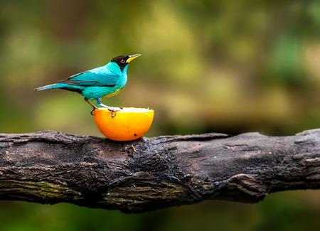 wild canary: Blue bird sitting on a branch, wildlife Stock Photo