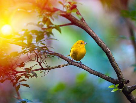 ¡rboles con pajaros: Pájaro amarillo que se sienta en una rama, la vida silvestre Foto de archivo