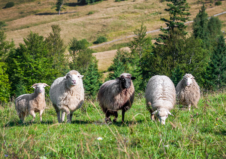 rocky mountain bighorn sheep: Flock of sheep grazing on the hills of the mountains Stock Photo