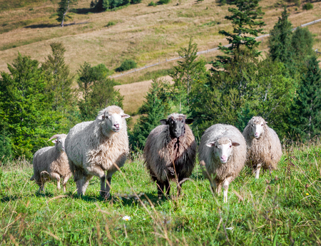 Flock of sheep grazing on the hills of the mountains photo
