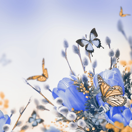 Blue tulips with mimosa and butterfly, spring background photo