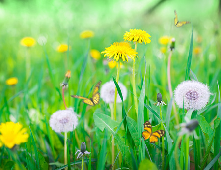 Air dandelions on a green field. Spring background. Stock Photo