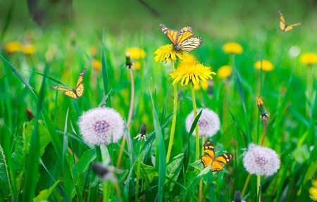 blue dandelion: Air dandelions on a green field. Spring background. Stock Photo