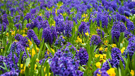 hyacinths: Blue hyacinths on a bed of autumn floral background
