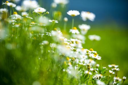 matricaria: Amazing chamomile field. Summer flowers .
