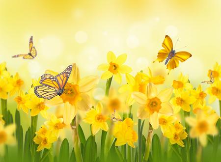 Gele narcissen met vlinders, lente achtergrond van bloemen.