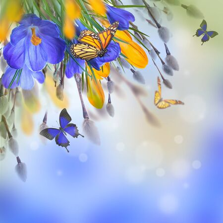 Blue and yellow crocus and snowdrops with willow. Butterflies on the background of spring flowers .. Stock Photo