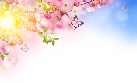 butterfly background: Flowers background with amazing spring sakura with butterflies. Flowers of cherries.