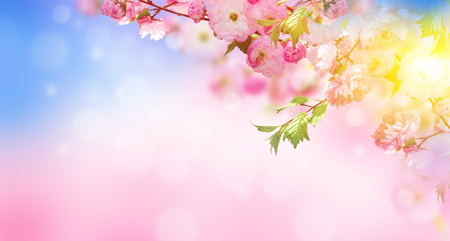japanese garden: Flowers background with amazing spring sakura with butterflies. Flowers of cherries.