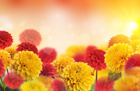 Autumn flowers and yellowed leaves of maple and oak. Background of chrysanthemums. Stock Photo