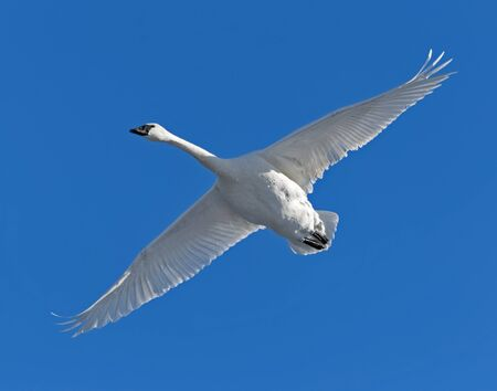 A trumpeter swan in flight Stock Photo