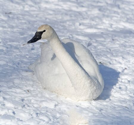 A trumpeter swan resting near the bank of a river in Winter. Stock Photo
