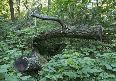 felled: A fallen tree in the woods in Minnesota.
