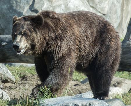 Een grizzlybeer komt uit de slaap en loopt naar buiten.